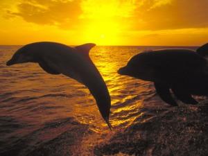 Sunset Jump Bottlenose Dolphins Honduras